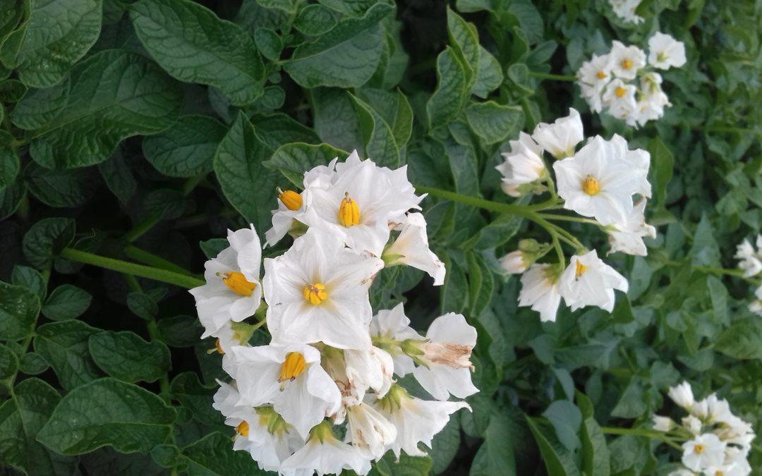 Советы для начинающих: как увеличить урожай картофеля