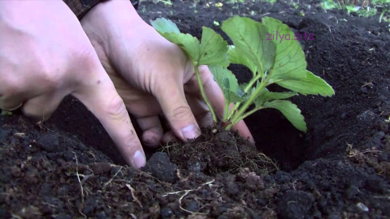 Как пересаживать клубнику весной,чтоб ягода дала богатый урожай