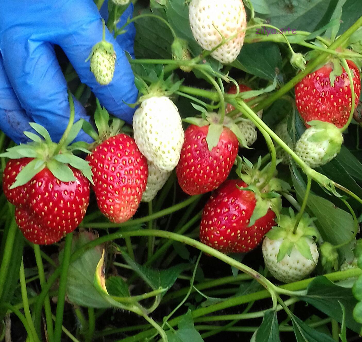 когда и как подкармливать клубнику для укрупнения ягоды