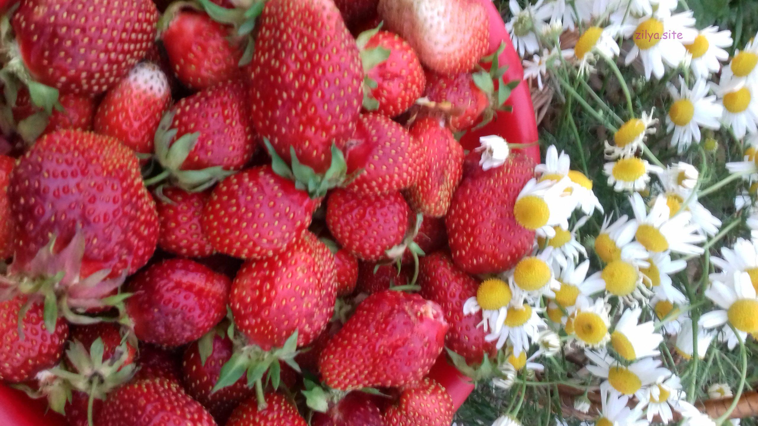 советы о том как ухаживать за клубникой вовремя плодоношения
