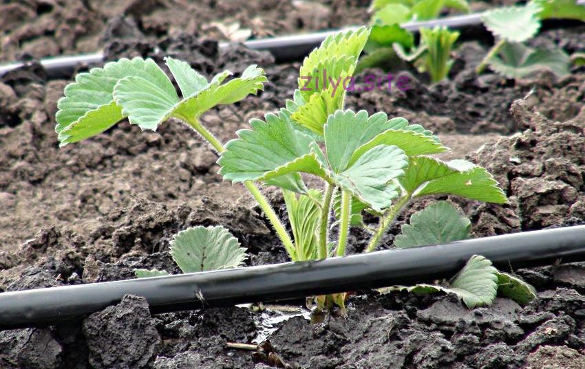 как часто поливать клубнику для отличного урожая