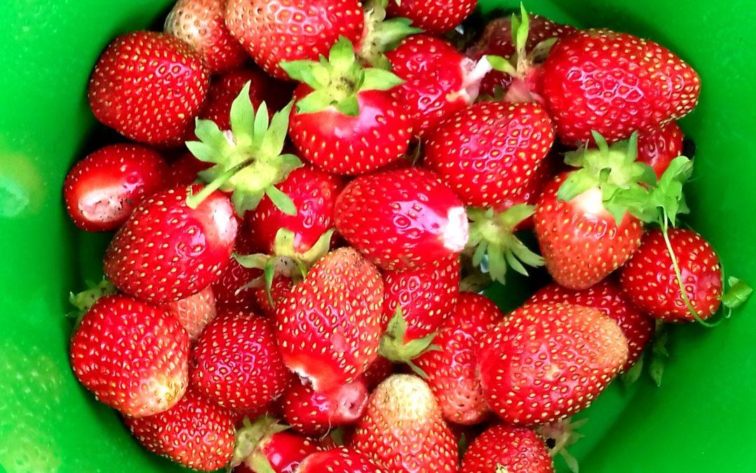 Как ухаживать за клубникой после плодоношения?