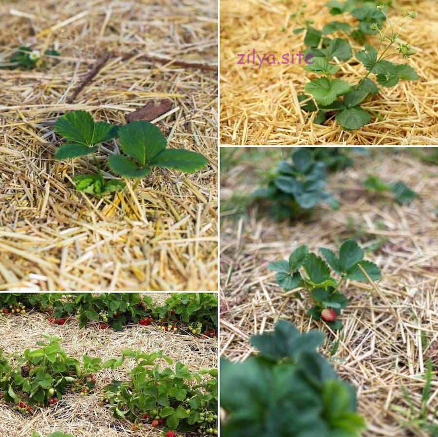 Советы о том, как мульчировать клубнику скошенной травой