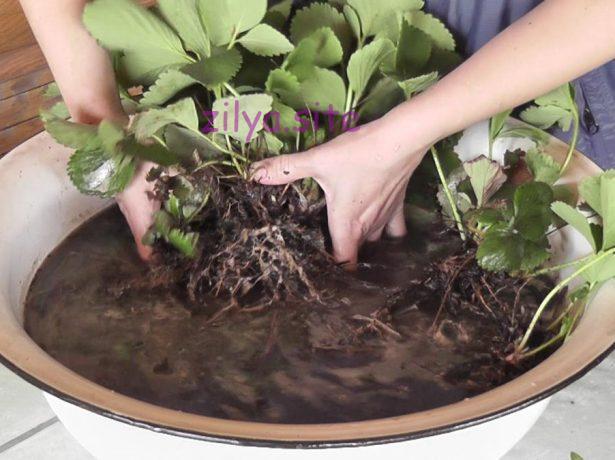 Советы для начинающих о том, как пересаживать клубнику методом деления куста