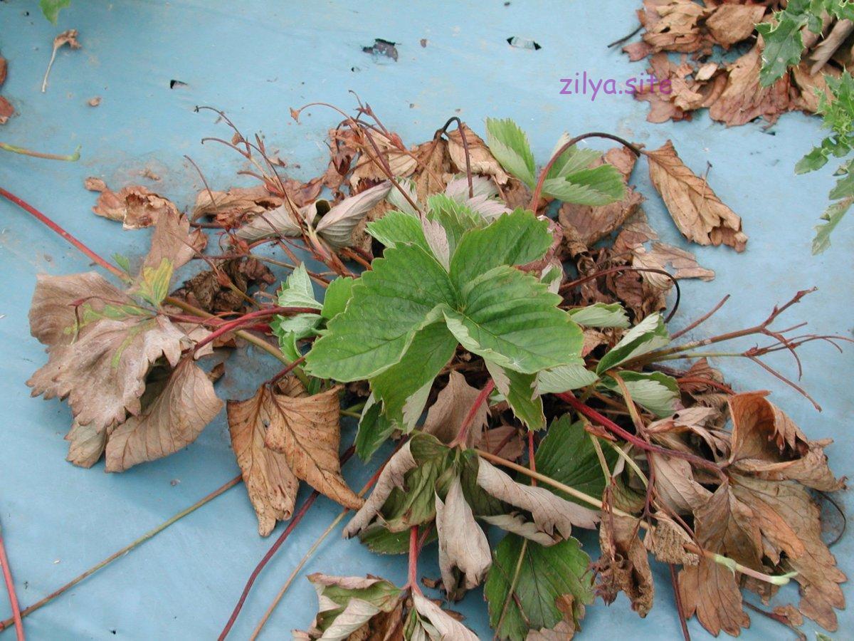 Как защитить садовую клубнику от болезней