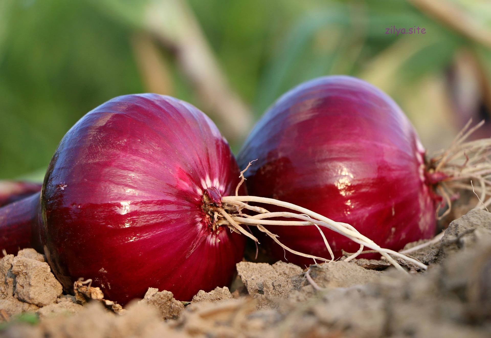 Советы о том, как правильно сушить лук после уборки с грядки