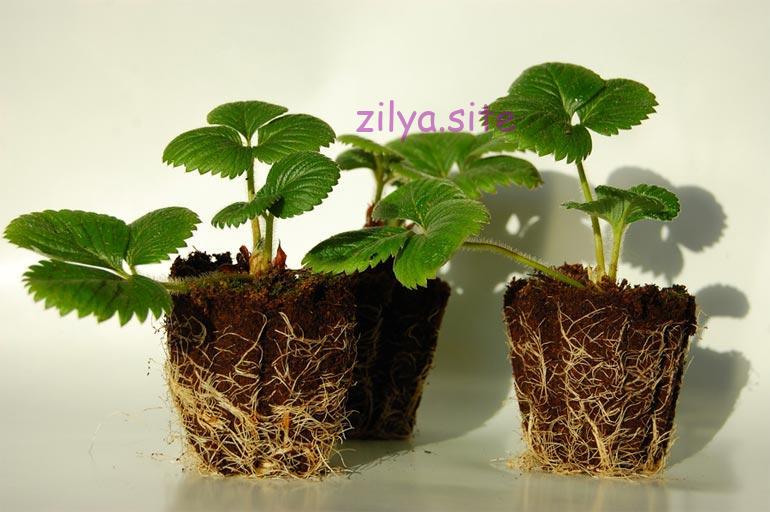 Как размножать клубнику из семян у себя в саду