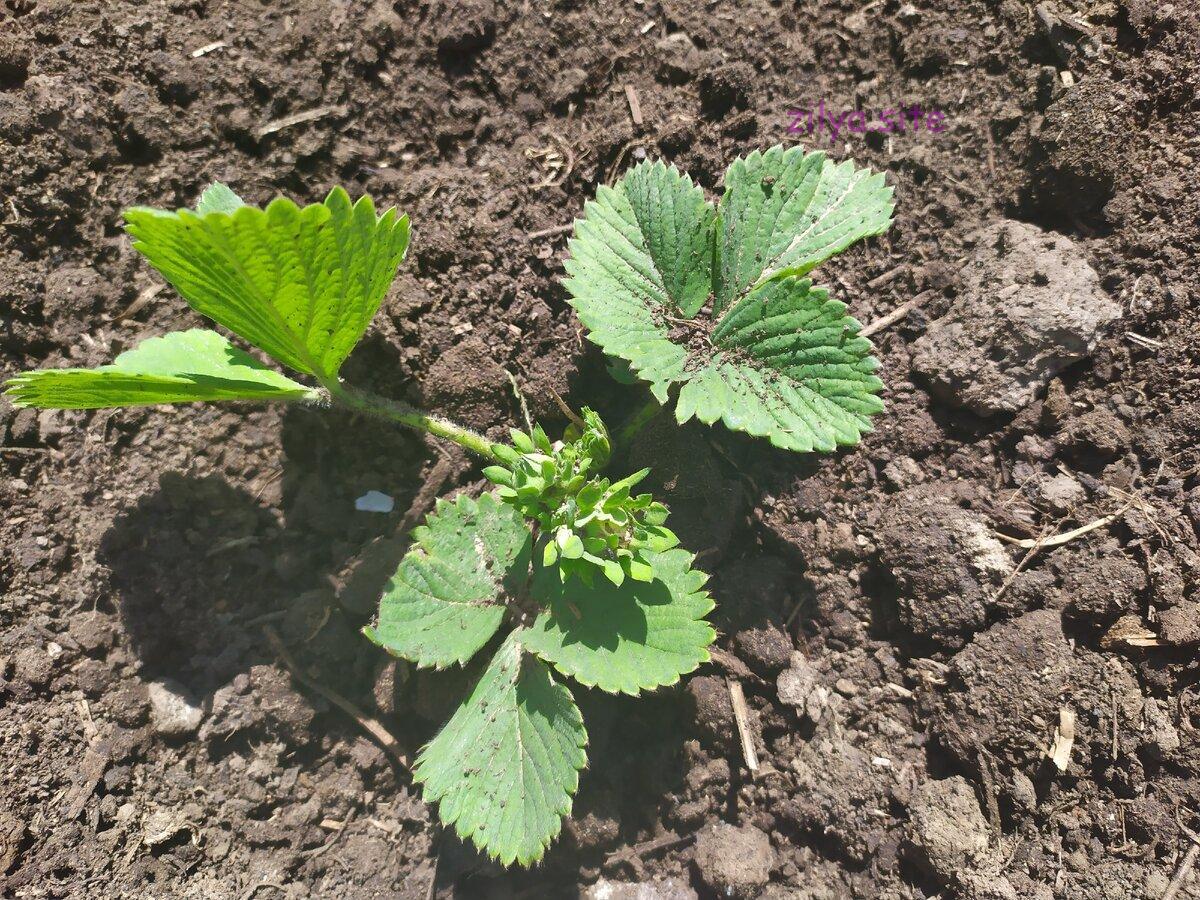 Советы о том, как размножать клубнику из семян у себя в саду