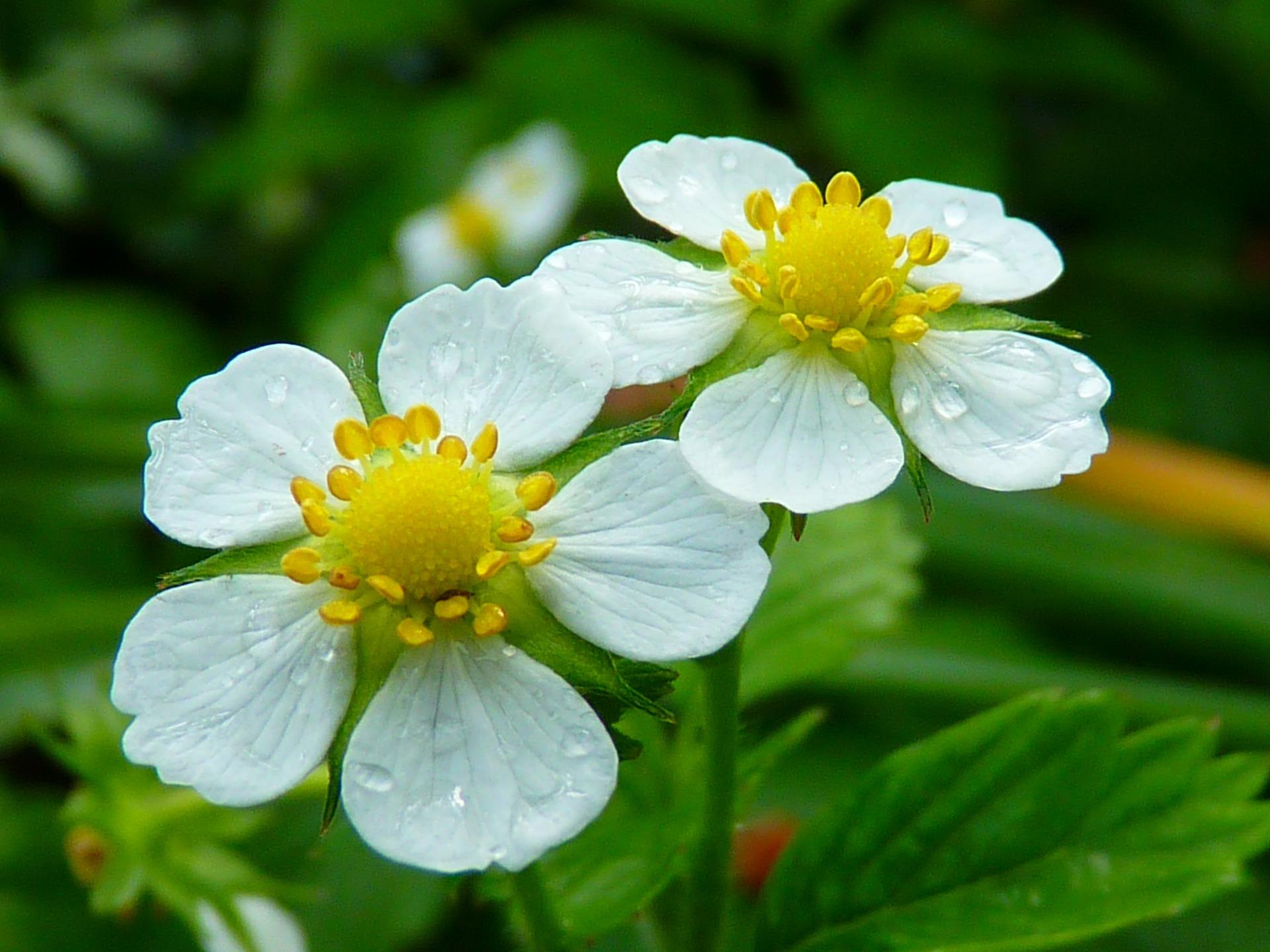 Какая подкормка нужна клубнике во время цветения